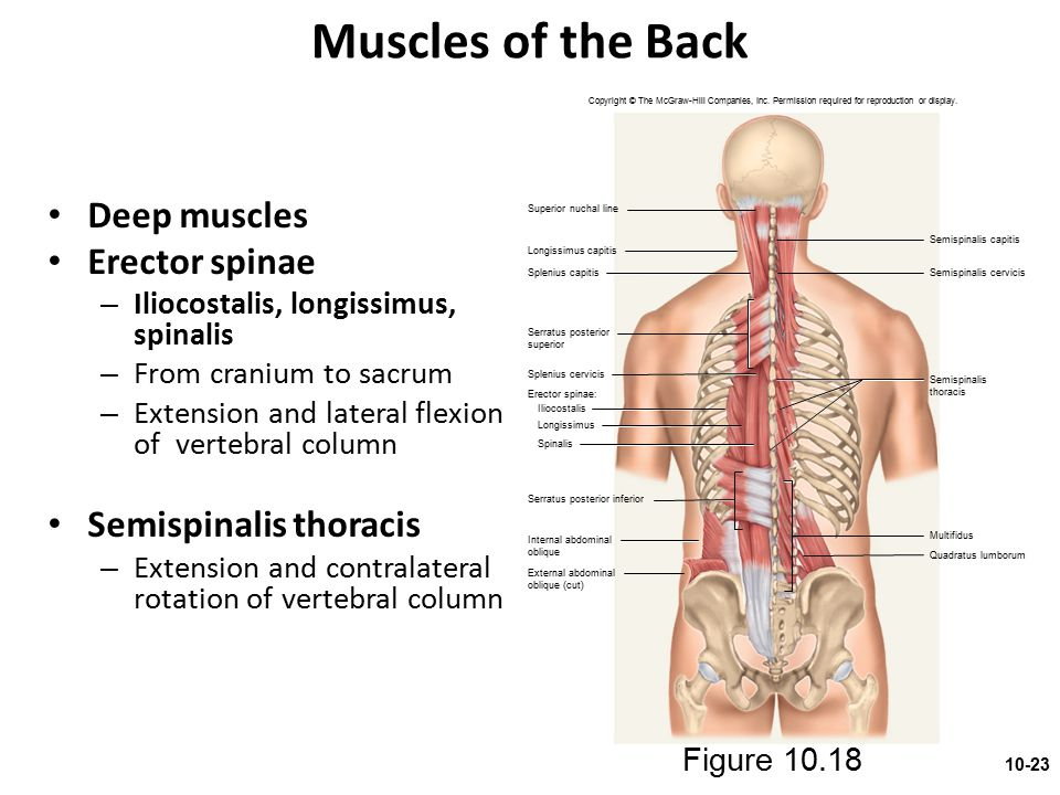 Muscles of the Back Deep muscles Erector spinae Semispinalis thoracis
