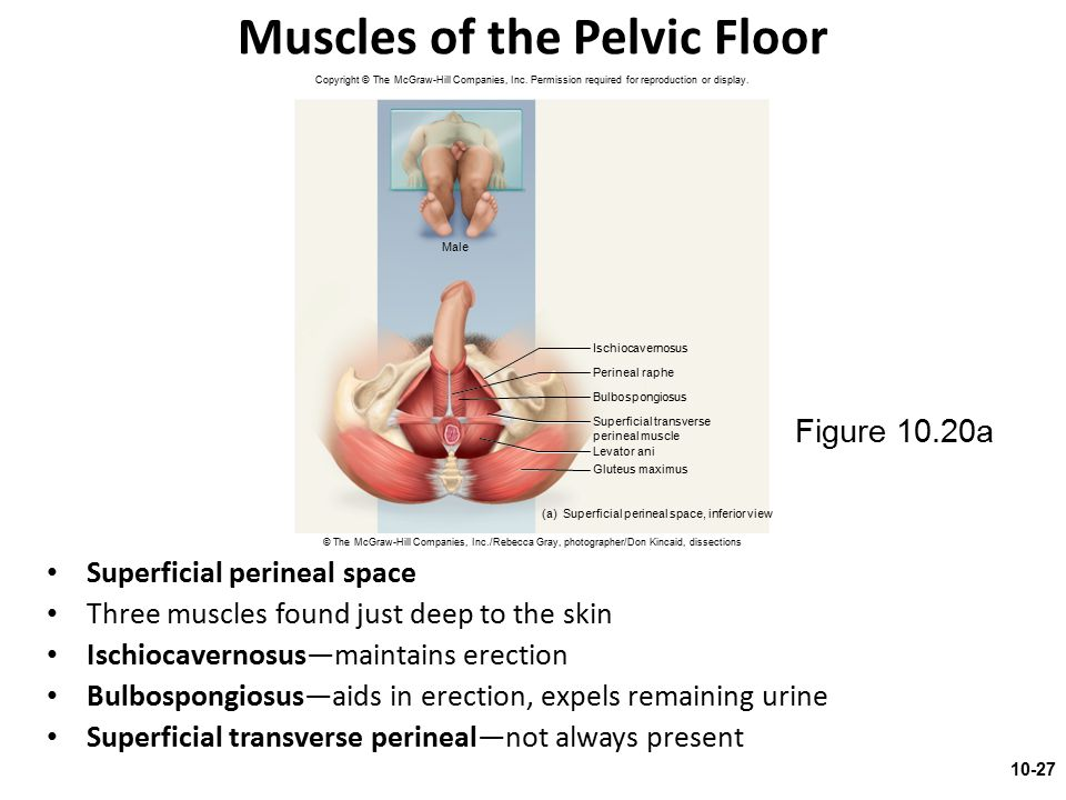 Muscles of the Pelvic Floor