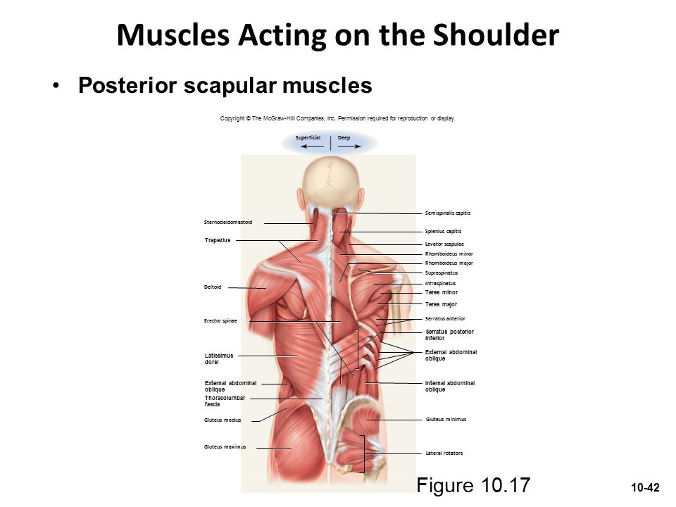 Muscles Acting on the Shoulder