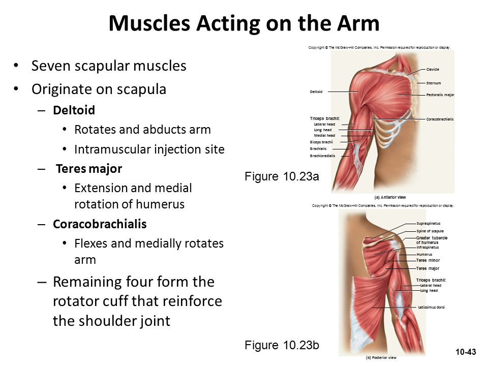 Muscles Acting on the Arm