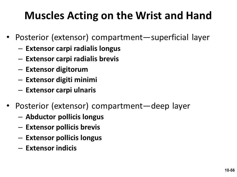 Muscles Acting on the Wrist and Hand
