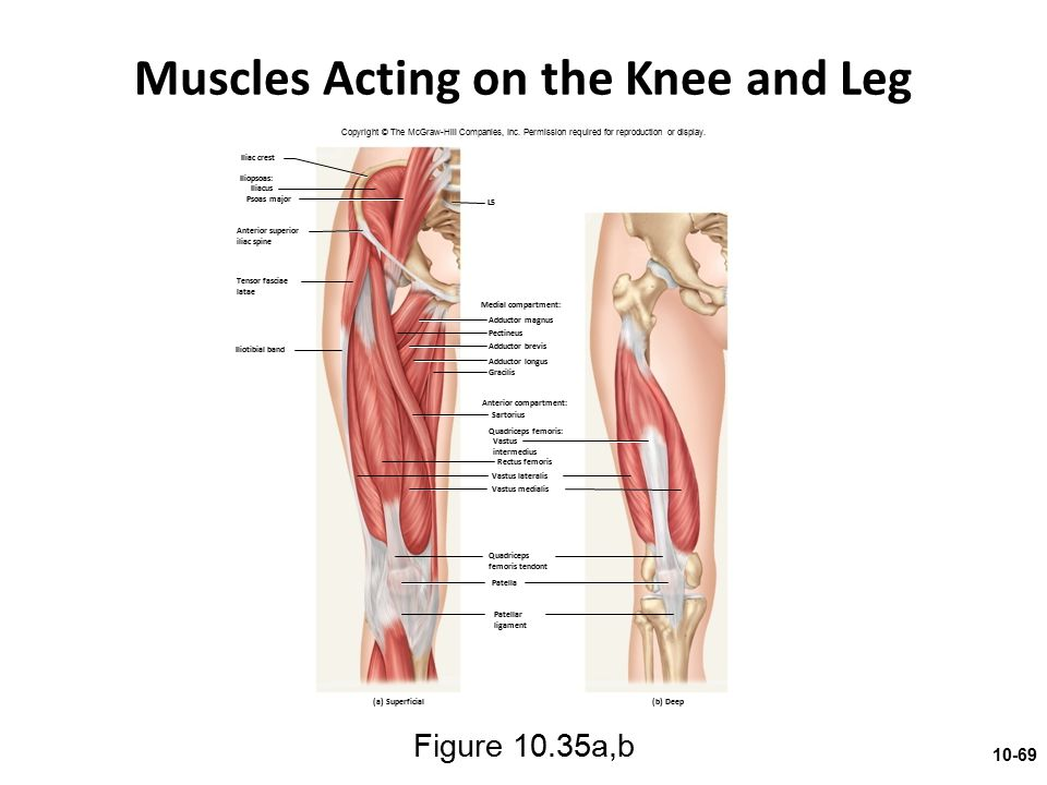 Muscles Acting on the Knee and Leg
