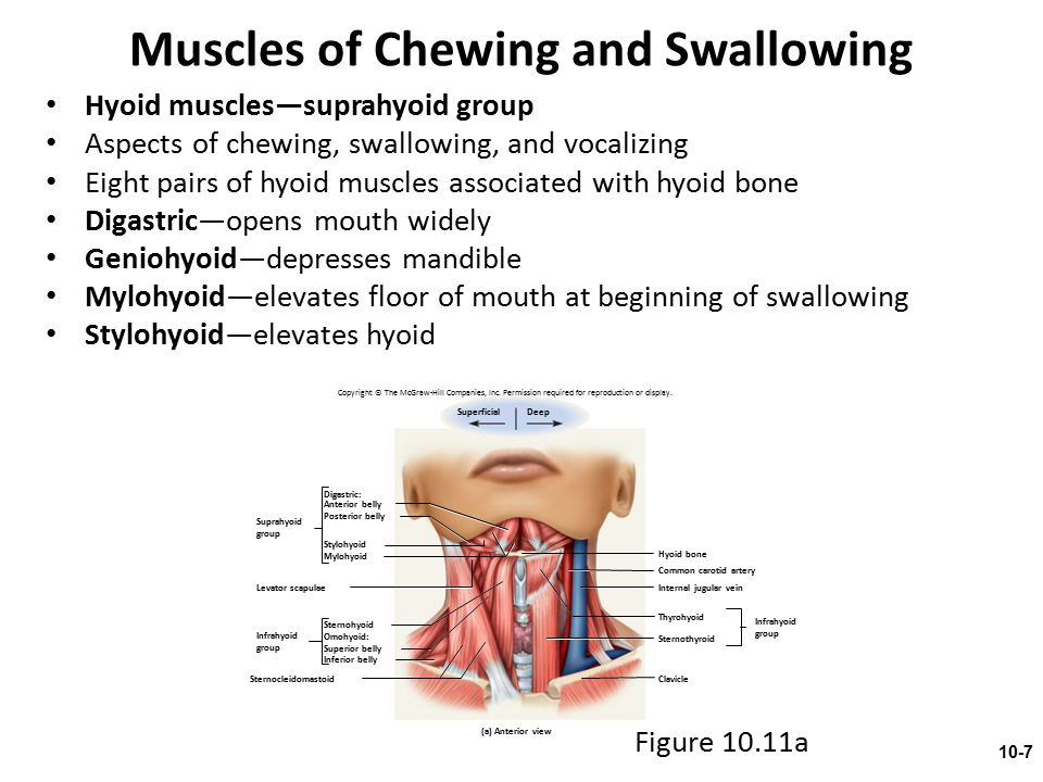 Muscles of Chewing and Swallowing