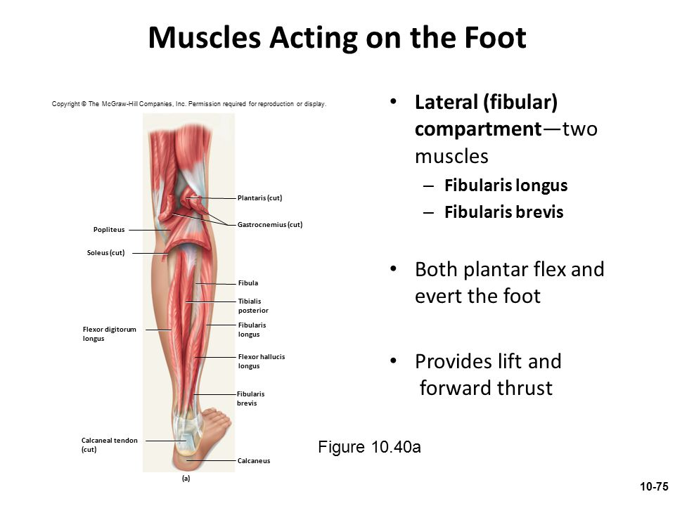 Muscles Acting on the Foot