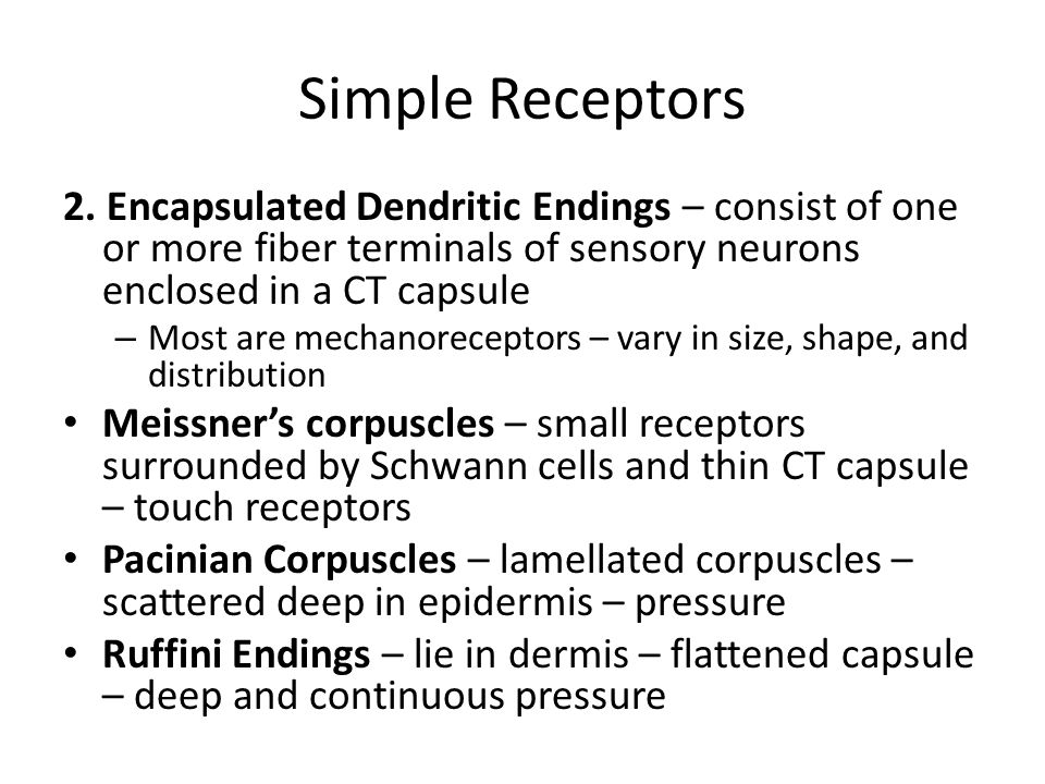 Simple Receptors 2. Encapsulated Dendritic Endings – consist of one or more fiber terminals of sensory neurons enclosed in a CT capsule.