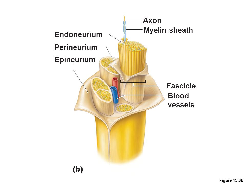 Axon Myelin sheath Endoneurium Perineurium Epineurium Fascicle Blood