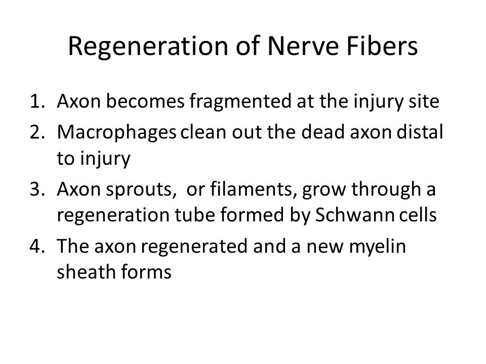 Regeneration of Nerve Fibers