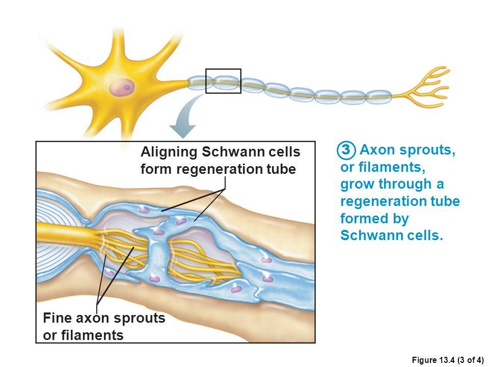 Aligning Schwann cells form regeneration tube Axon sprouts,