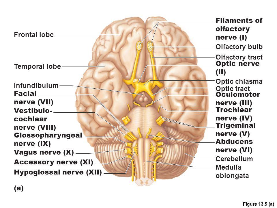 Hypoglossal nerve (XII)