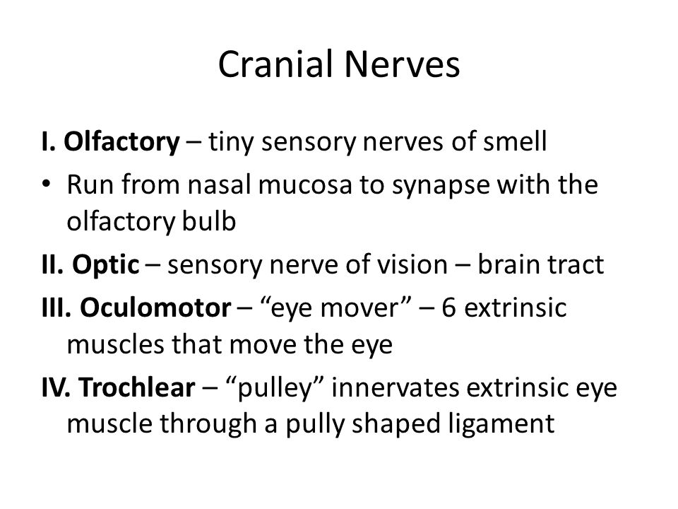Cranial Nerves I. Olfactory – tiny sensory nerves of smell