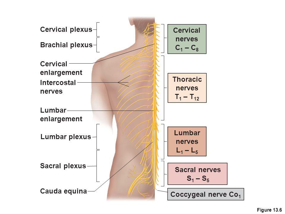 Cervical plexus Cervical nerves C1 – C8 Brachial plexus Cervical