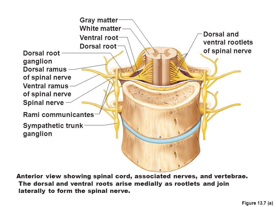 Gray matter White matter Dorsal and Ventral root ventral rootlets