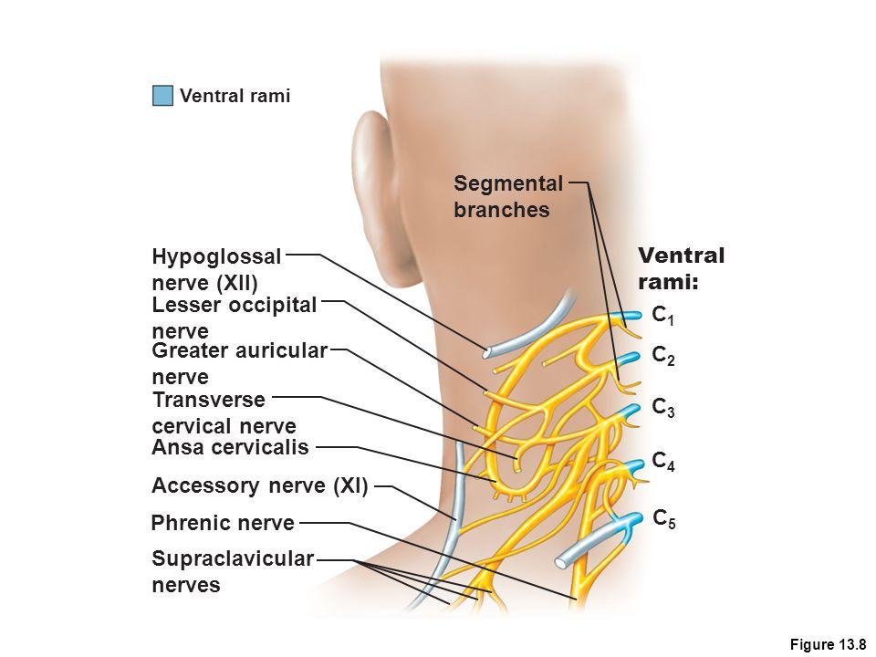 Segmental branches Hypoglossal Ventral nerve (XII) rami: