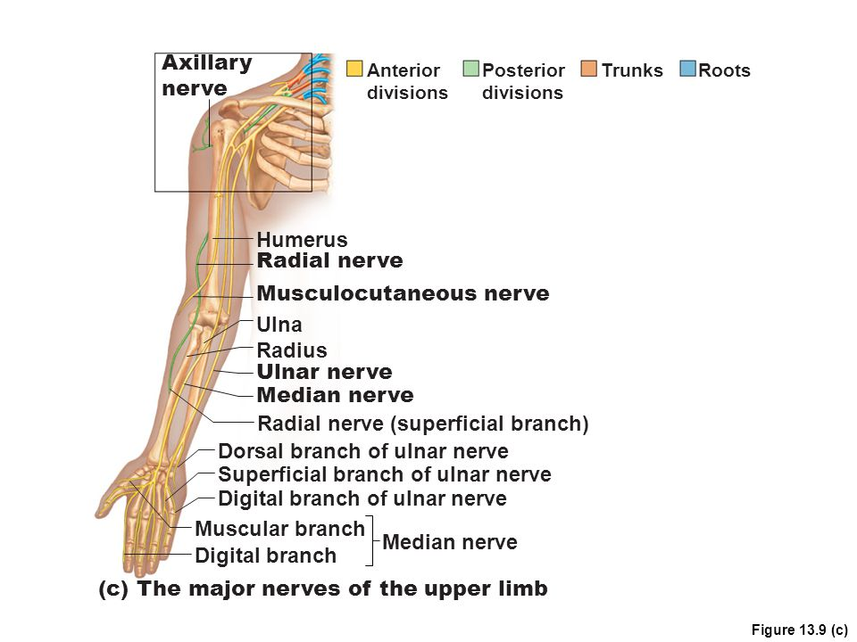 Musculocutaneous nerve Ulna Radius Ulnar nerve Median nerve