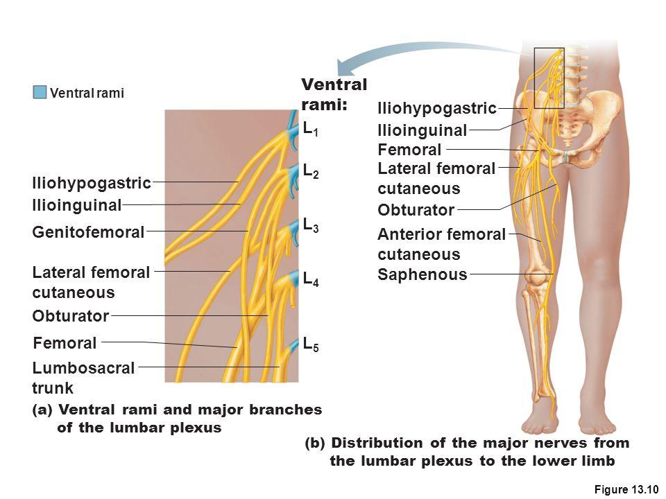 Ventral rami: Iliohypogastric L1 Ilioinguinal Femoral L2