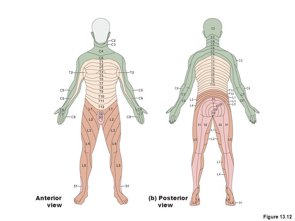 Anterior view (b) Posterior view Figure 13.12 C2 C3 C4 C5 T1 T2 T3 T2