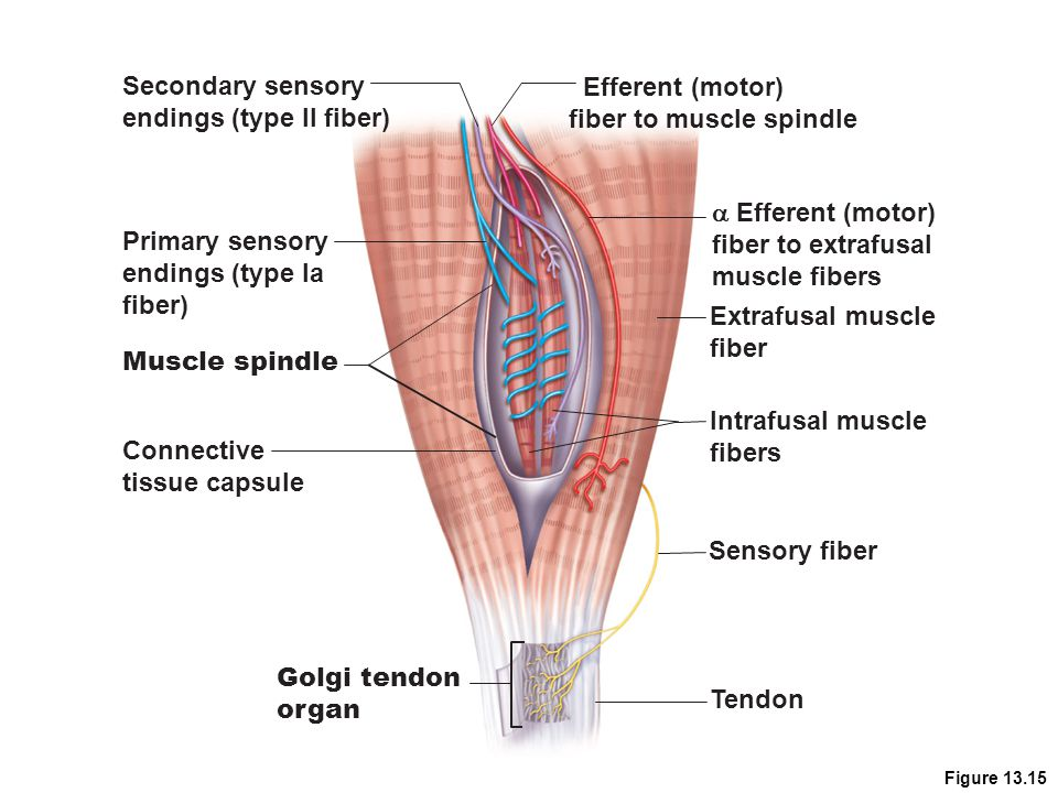 endings (type II fiber) Efferent (motor) fiber to muscle spindle