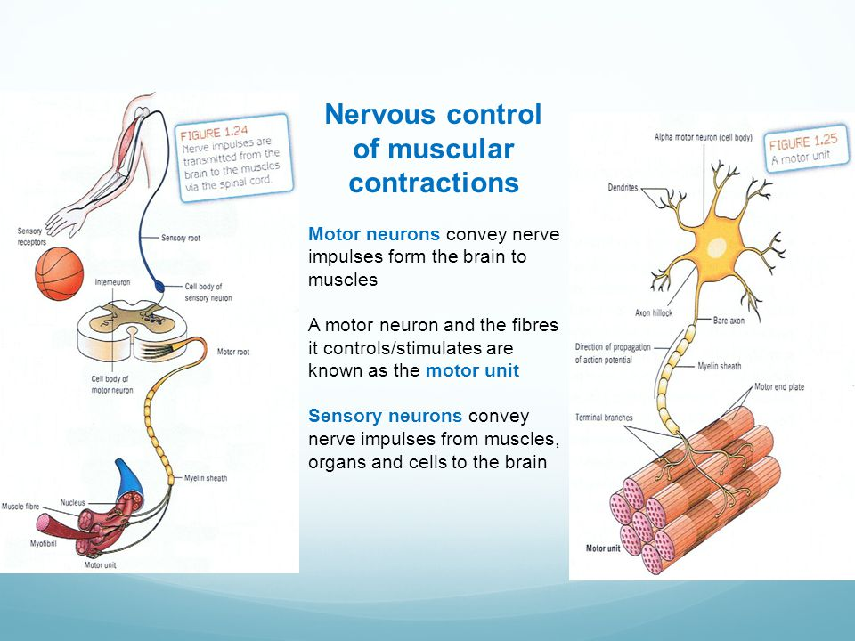 Nervous control of muscular contractions