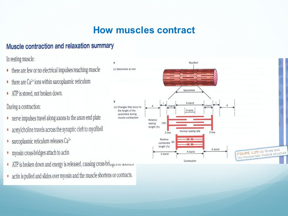 How muscles contract Insert 1.23