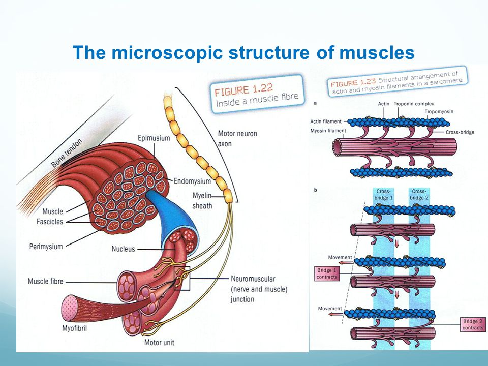 The microscopic structure of muscles