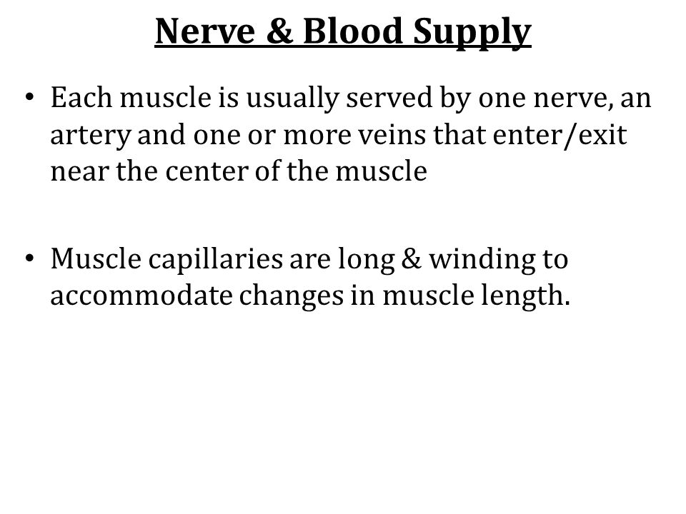 Nerve & Blood Supply Each muscle is usually served by one nerve, an artery and one or more veins that enter/exit near the center of the muscle.