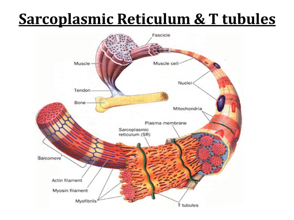 Sarcoplasmic Reticulum & T tubules