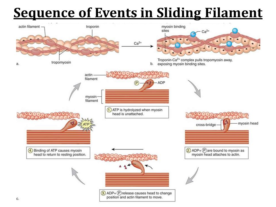 Sequence of Events in Sliding Filament
