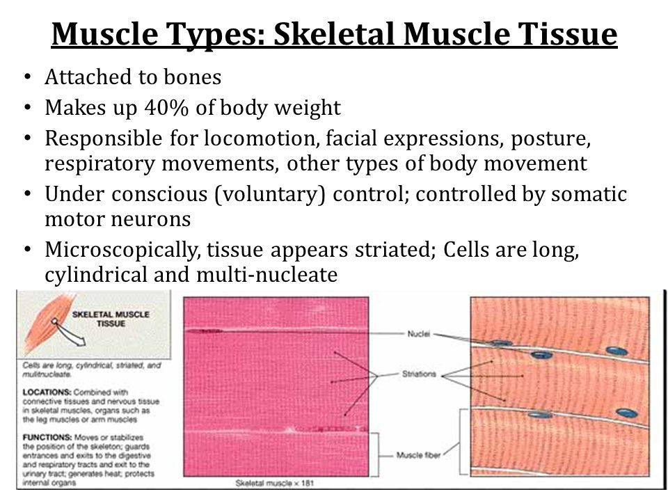 Muscle Types: Skeletal Muscle Tissue