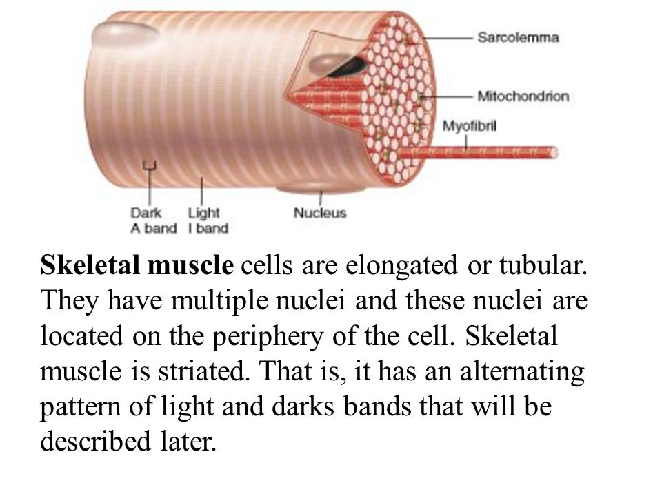 Skeletal muscle cells are elongated or tubular