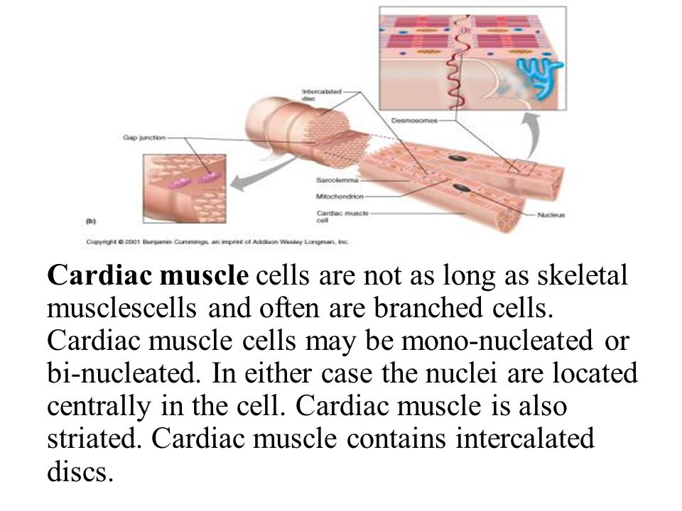 Cardiac muscle cells are not as long as skeletal musclescells and often are branched cells.