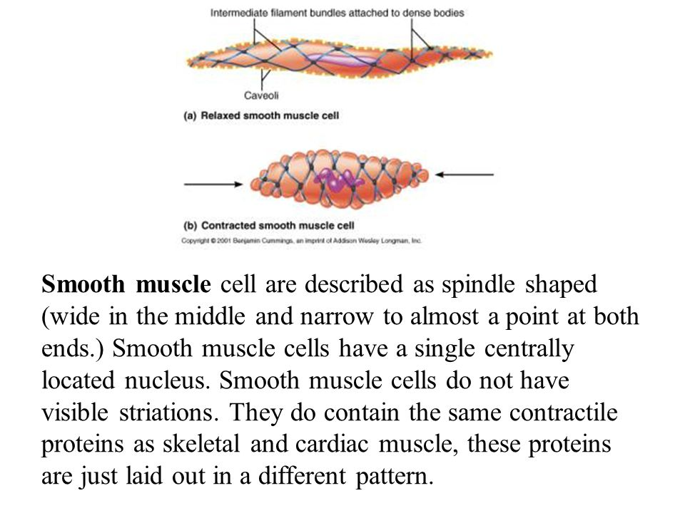 Smooth muscle cell are described as spindle shaped (wide in the middle and narrow to almost a point at both ends.) Smooth muscle cells have a single centrally located nucleus.