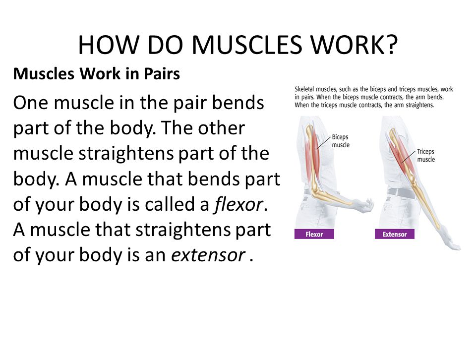 HOW DO MUSCLES WORK Muscles Work in Pairs.