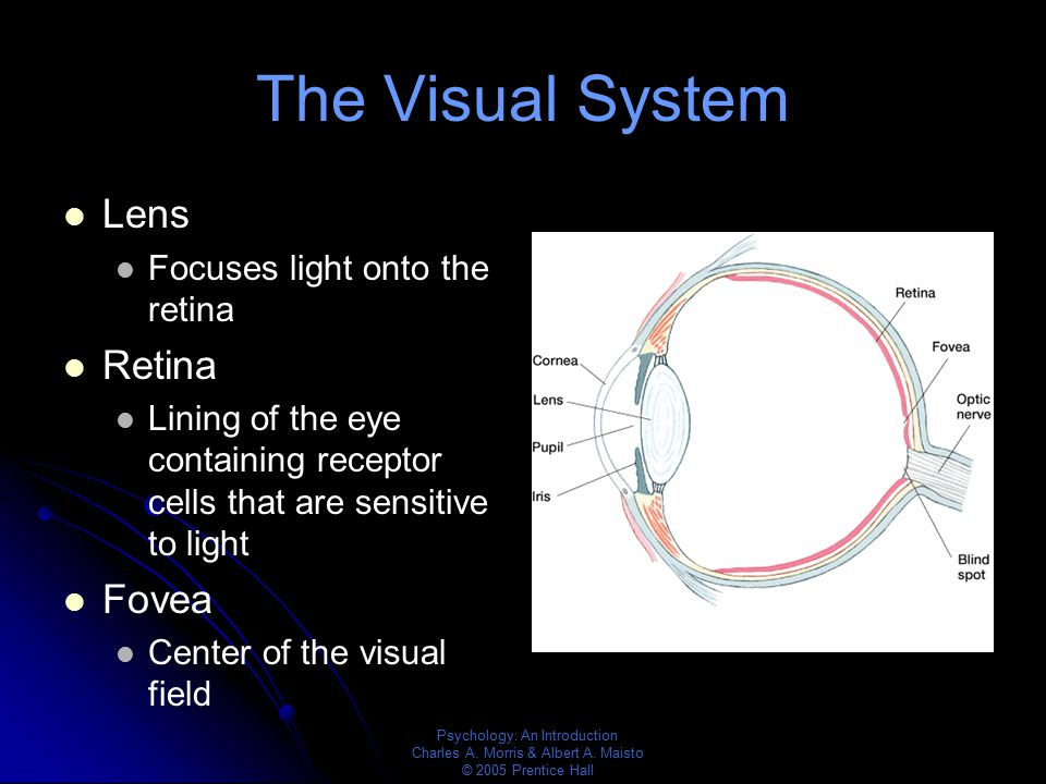 The Visual System Lens Retina Fovea Focuses light onto the retina