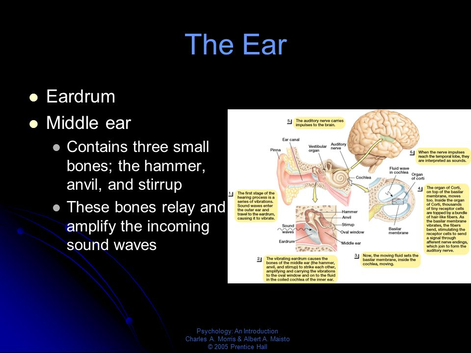 The Ear Eardrum Middle ear