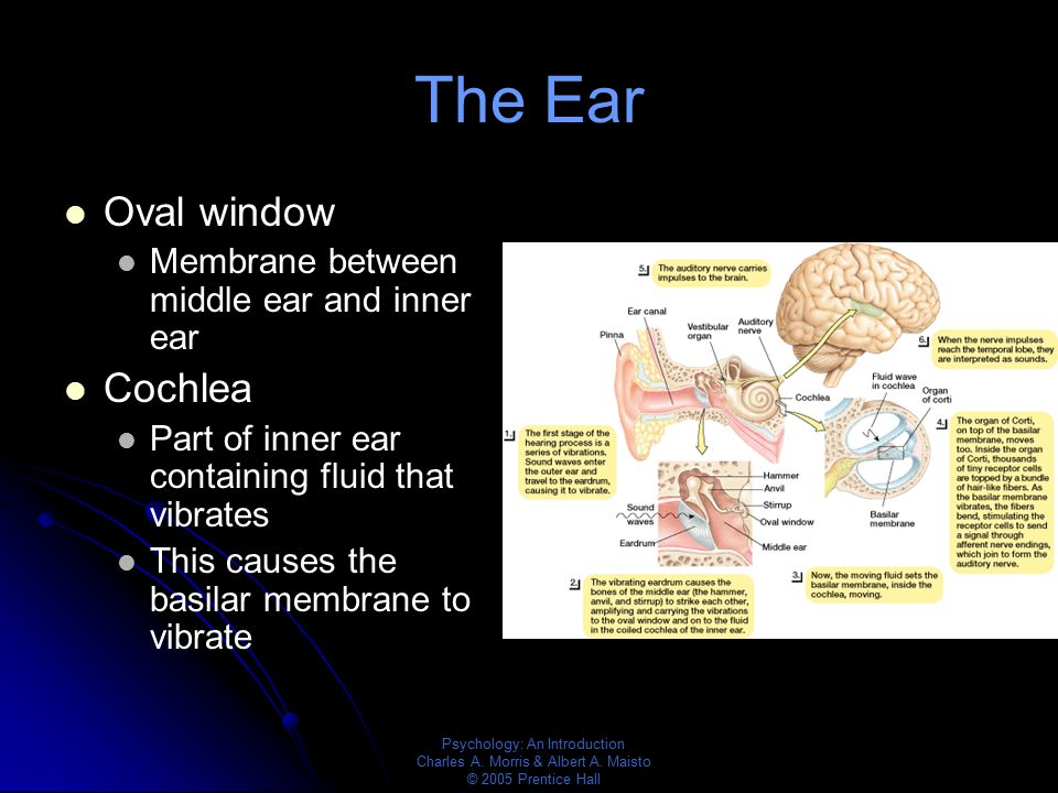 The Ear Oval window Cochlea Membrane between middle ear and inner ear