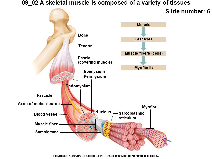 09_02 A skeletal muscle is composed of a variety of tissues