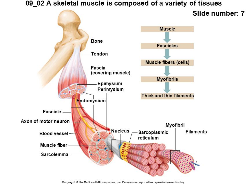 09 02 a skeletal muscle is composed of a variety of