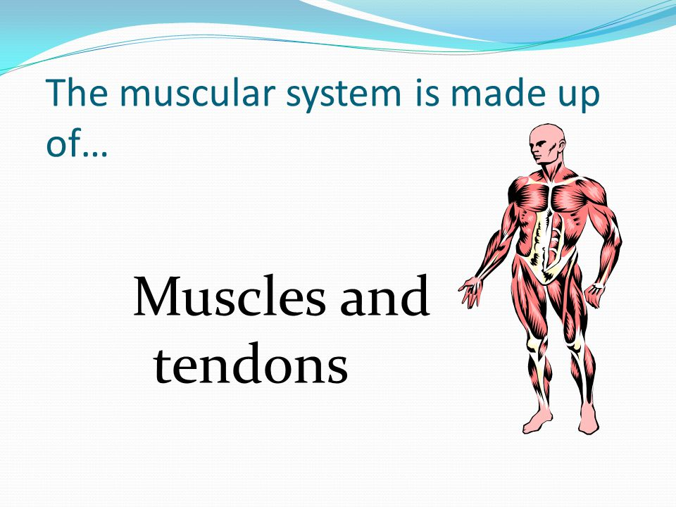The muscular system is made up of…