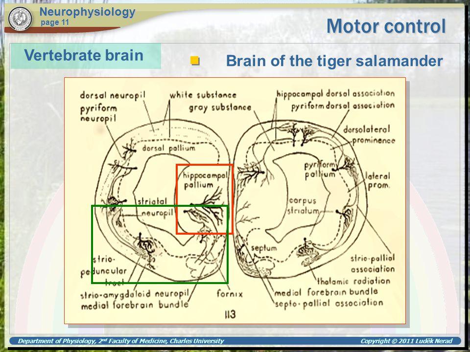 Motor control Vertebrate brain Brain of the tiger salamander