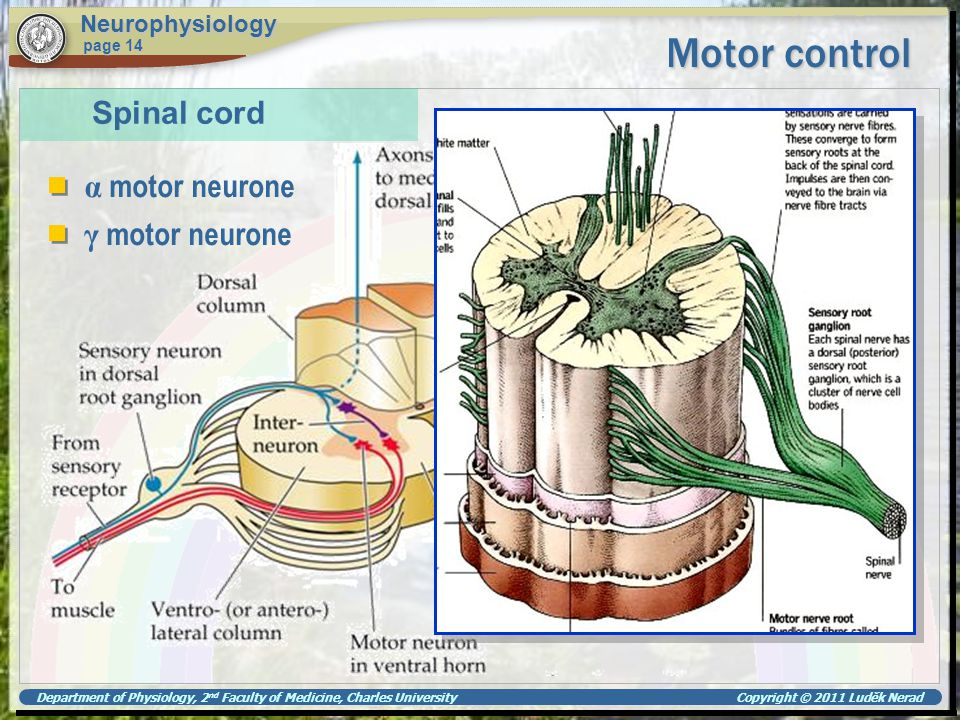 Motor control Spinal cord α motor neurone γ motor neurone