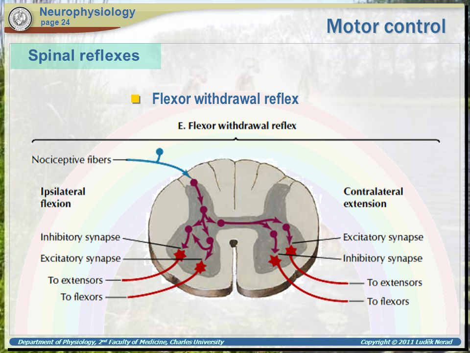 Motor control Spinal reflexes Flexor withdrawal reflex Neurophysiology
