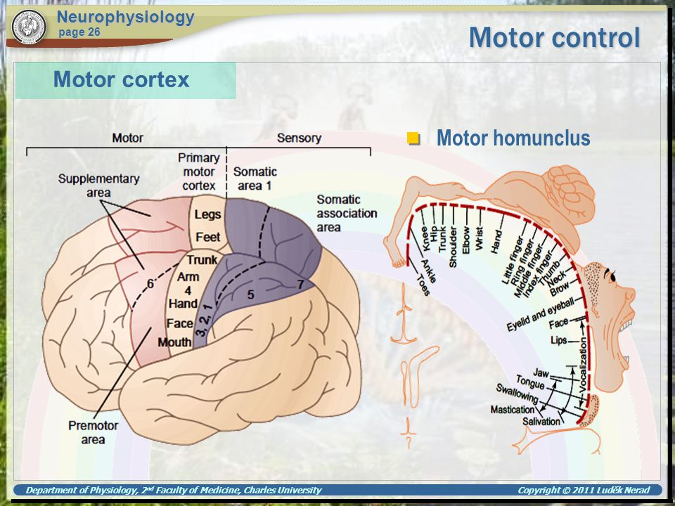 Motor control Motor cortex Motor homunclus Neurophysiology page 26