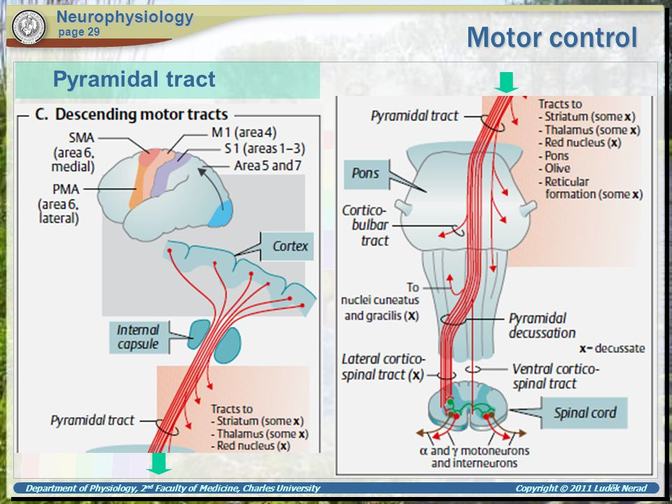 Motor control Pyramidal tract Neurophysiology page 29