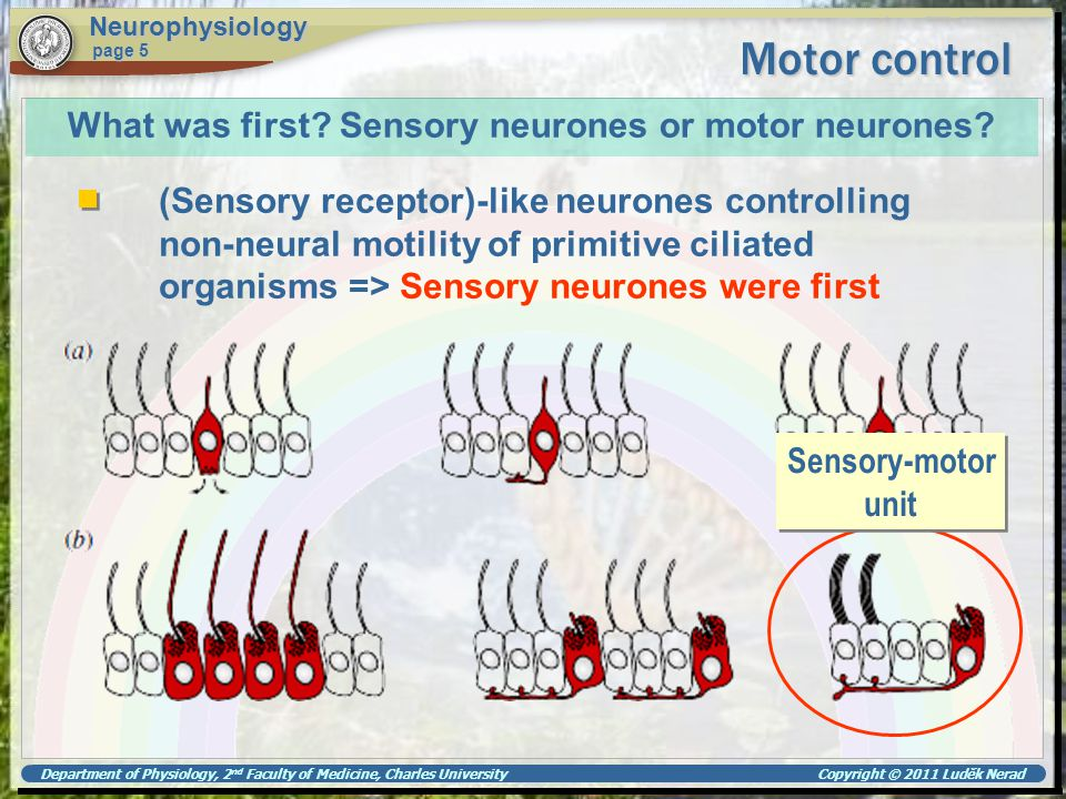 What was first Sensory neurones or motor neurones