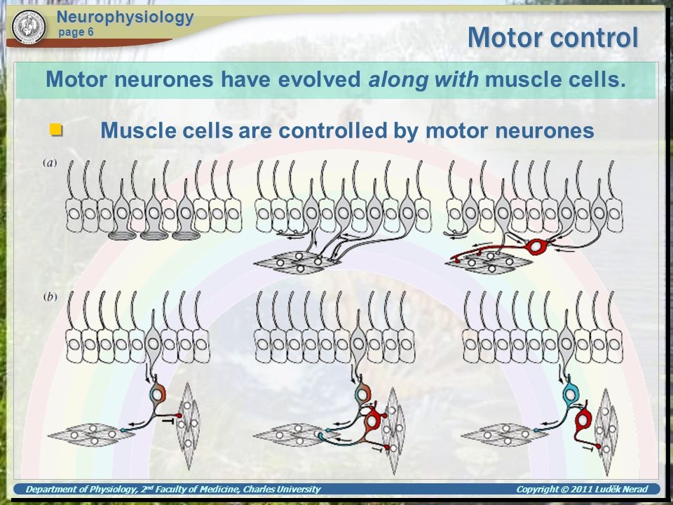Motor neurones have evolved along with muscle cells.