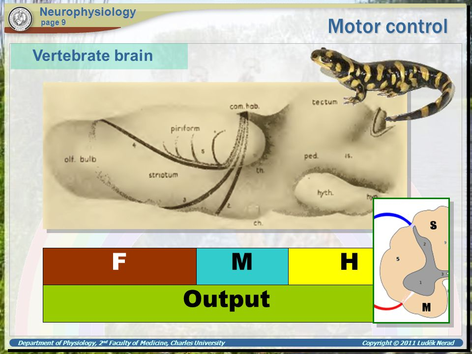 F M H Output Motor control Vertebrate brain Neurophysiology page 9