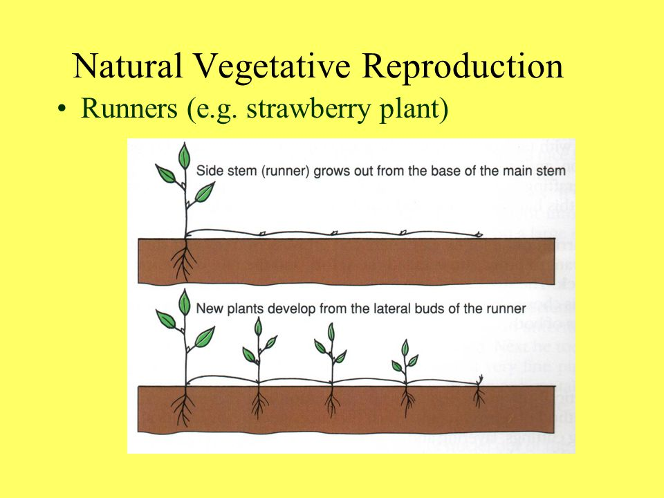 Natural Vegetative Reproduction