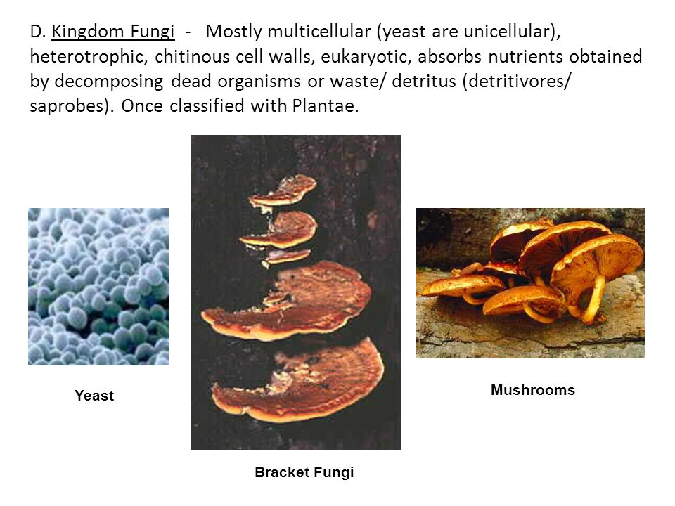 D. Kingdom Fungi - Mostly multicellular (yeast are unicellular), heterotrophic, chitinous cell walls, eukaryotic, absorbs nutrients obtained by decomposing dead organisms or waste/ detritus (detritivores/ saprobes). Once classified with Plantae.