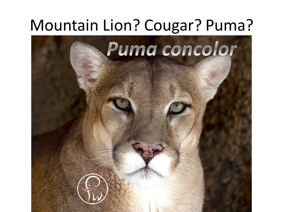Mountain Lion Cougar Puma