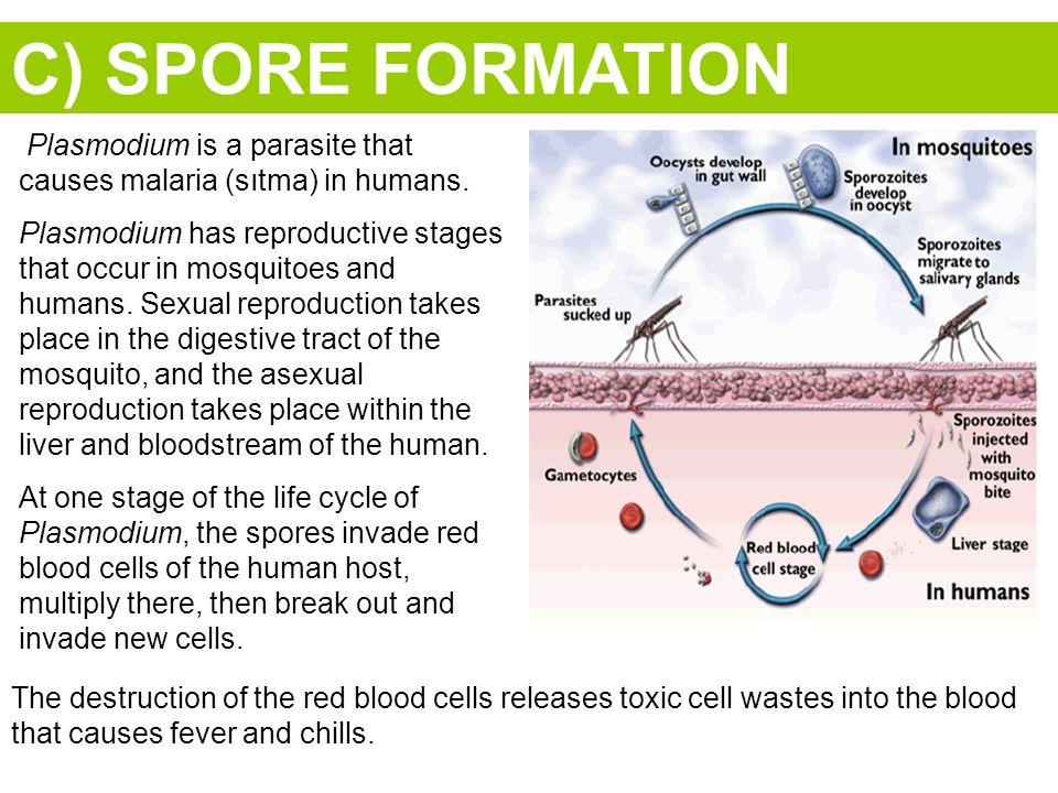 C) SPORE FORMATION Plasmodium is a parasite that causes malaria (sıtma) in humans.